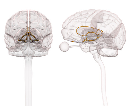 Limbic System Brain Anatomy - 3d illustratie Stockfoto