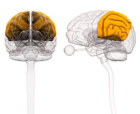 Parietal Brain Anatomy - 3d illustration