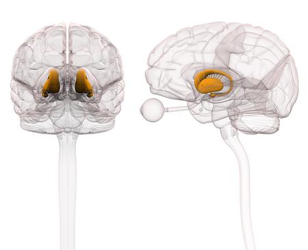 basal ganglia: Basal Ganglia - Anatomy Brain - 3d illustration