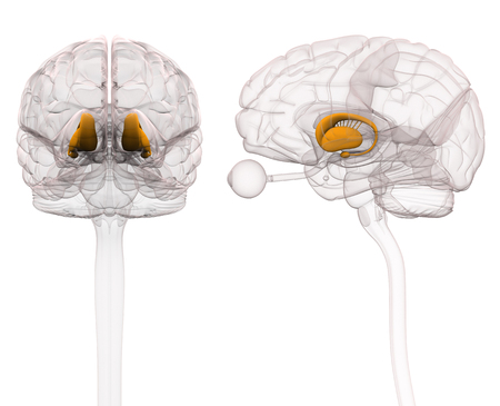 Basal Ganglia - Anatomy Brain - 3d illustration
