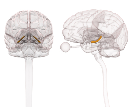 Hippocampus Brain Anatomy - 3d illustratie