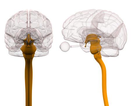 Spinal Cord Brain Anatomy - 3d illustration