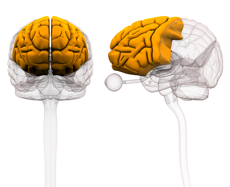 Frontal Lobe Brain Anatomy - 3d illustration Stock Photo