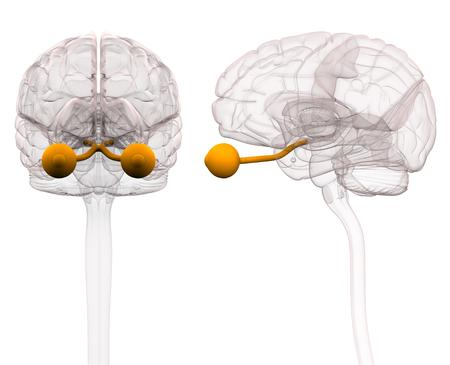Optical Nerve Brain Anatomy - 3d illustration Stock Photo