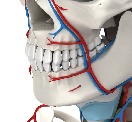 Head Circulatory Male Anatomy - 3D illustration