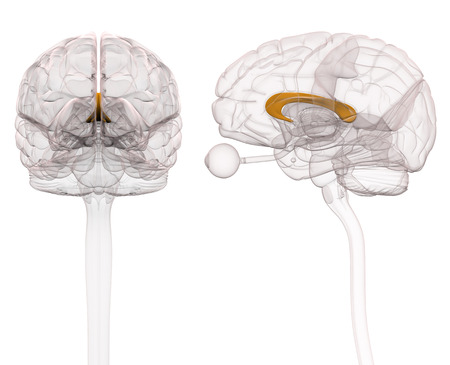 Corpus Callosum Brain Anatomy - 3d illustration