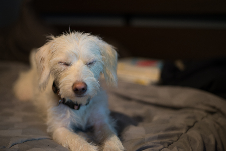 Tired white dog resting with eyes closed
