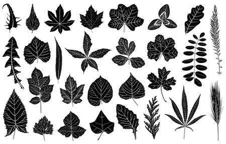acacia: Illustration of different leaves isolated on white Illustration
