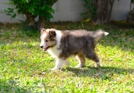 move in: Puppy sheltie with perfect body move in the garden. Stock Photo