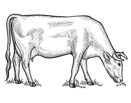 Cow grazing on meadow. Cow in graphical style. Hand drawn vector illustration