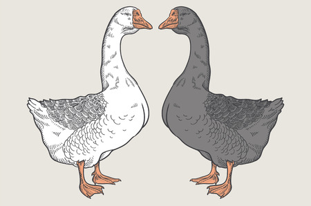 White goose, Grey goose, goose hand drawn, poultry, vector illustration sketch Иллюстрация