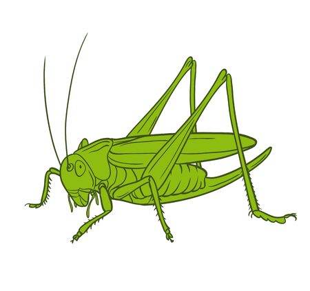 Grasshopper of white background, graphic