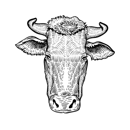 Cows head, in a graphic style hand drawn illustration. Cow isolated on white background Иллюстрация