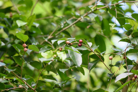Wild berry, fruit of banyan tree are favorite for birds Stock Photo
