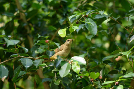 Bulbul bird is eatting wild fruit
