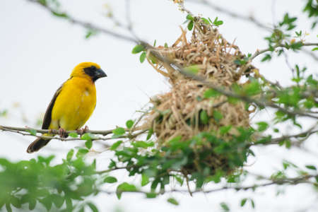 Asian Golden Weaver in the forest Stock Photo