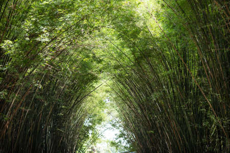 Sunlight is passing through bamboo leaves and bamboo branches in the morning.