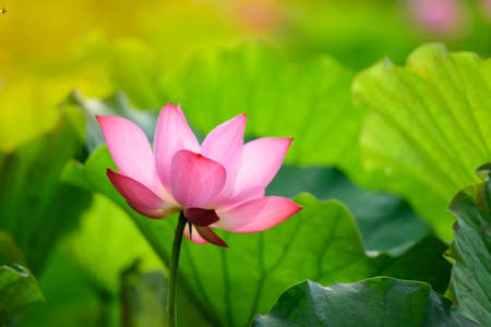 The pink lotus is prominent in the pond amidst the lotus leaf. Feel fresh. Like morning 版權商用圖片