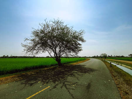 The trees are located along the road beside the rice fields, with a deep shadow on the bottom.