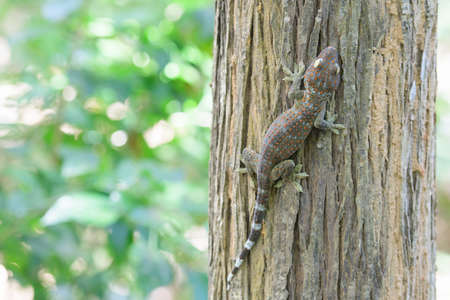 A large gecko perched on a tree in an abundant forest, the gecko is considered a predator in the food chain. That controls too many insects Stock fotó