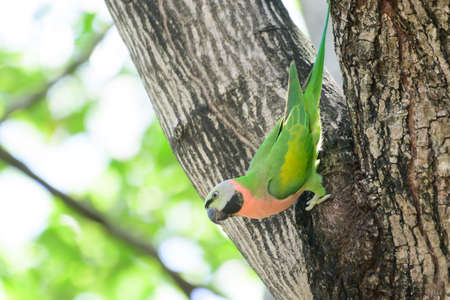Green parrot Using gouging the bark to find food on a large tree