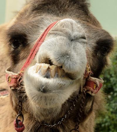 Portret of Groomy Camel.