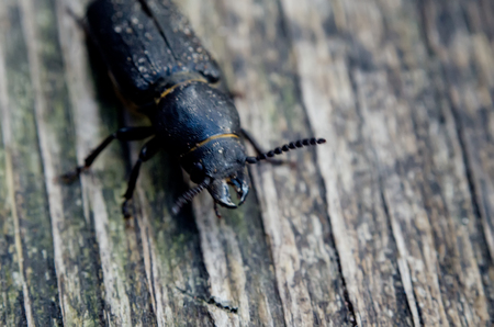 The Capricorn beetle on wooden surface. Serious threat to wood.