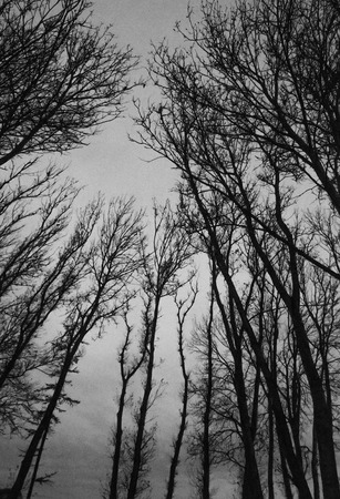 Black silhouettes of bald tree branches, black and white
