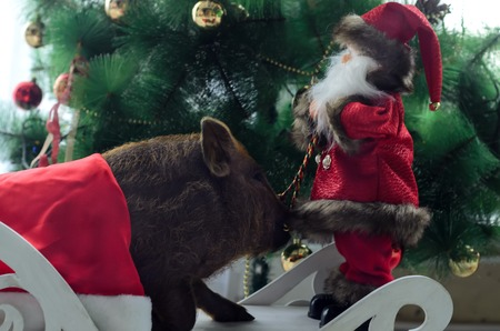 the pig sniffs a toy Santa on the Christmas tree.