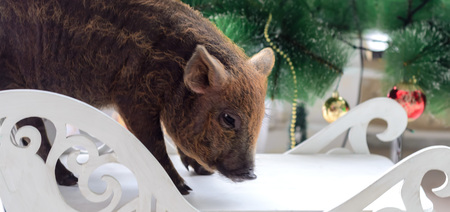 a pig on Christmas tree background.The symbol of 2019. Imagens