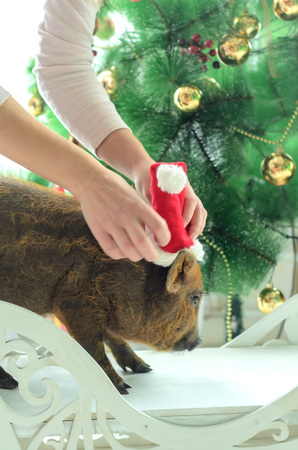 girl wears a Christmas hat on a pig on tree background.