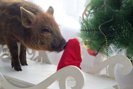 pig sniffs a Santa hat on Christmas tree background. Imagens