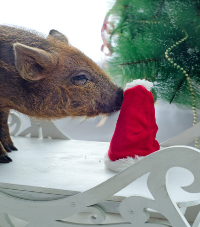 pig sniffs Santas hat with interest on Christmas tree background.