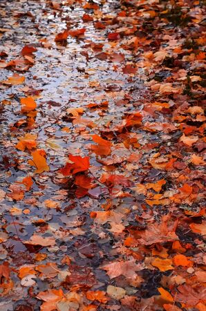 Vertical view of Autumn orange yellow leaves in water.Beauty of autumn