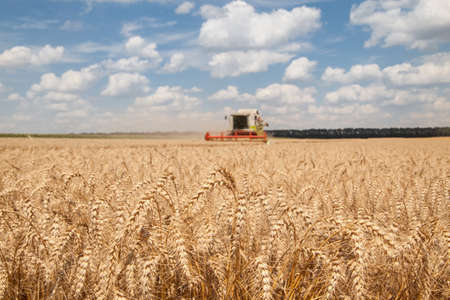 combine harvester: close-up ears of wheat at field and harvesting machine on background Stock Photo