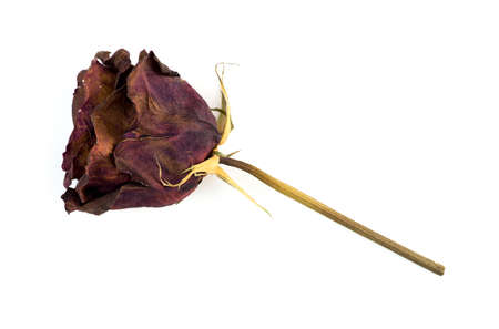 Single dead dried rose flower isolated on white photo