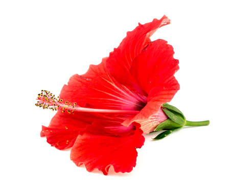 Beautiful red hibiscus flower isolated on white photo