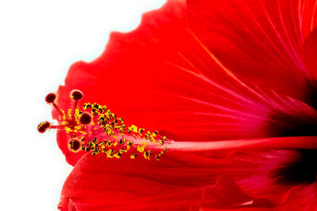 Extreme macro of beautiful red pink hibiscus flower photo