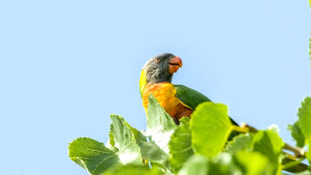 Bright multi-colored rainbow lorikeet bird perched on leafy tree top against clear blue sky