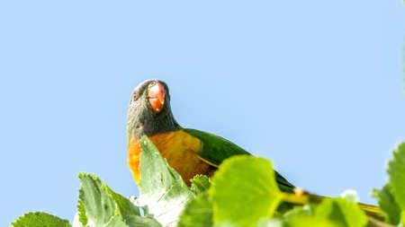 Australian rainbow lorikeet bird sitting on tree with copyspace