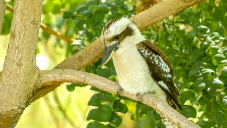 Laughing Kookaburra bird with unique feathers gazing down from tree branch
