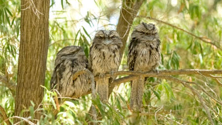 tawny owl: Group of juvenile Australian tawny frogmouth nocturnal birds perched on tree branch to sleep during daylight Stock Photo