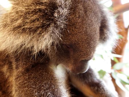 full length herbivore: Koala relaxing in a tree sleep Australia