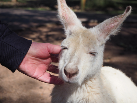albino: A rare albino kangaroo from Perth