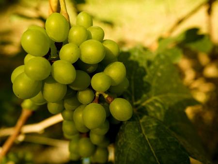 sauternes: Ripe grapes on branch, Thailand