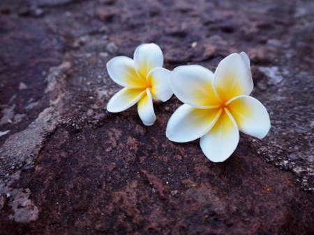 whiteness: frangipani flower on wood, tropical flowers