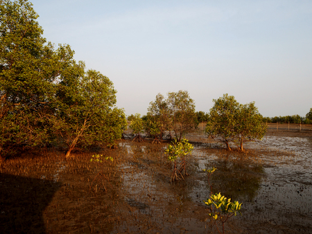 prong: mangrove the way study nature at thung prong thong ,Rayong , Thailand