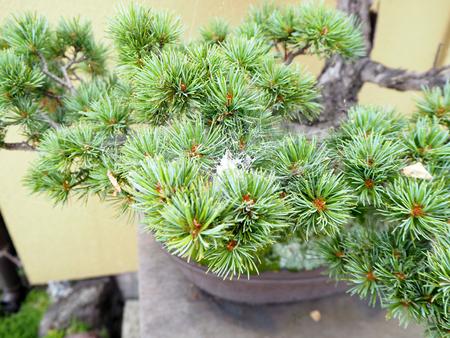 bonsai bomen in een Japans Graden Stockfoto