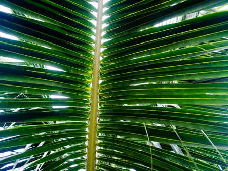 Green coconut leaf behind the sun.
