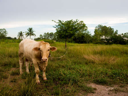 A Cow on a green field  in Thailand. Stock Photo